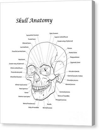 Line Illustration Of A Human Skull Canvas Print by Nicholas Mayeux