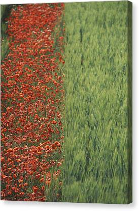 Line Of Red Poppies In Wheat Field In Canvas Print by Ian Cumming