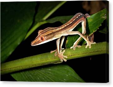 Lined Flat-tail Gecko Canvas Print by Alex Hyde