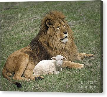 Lion And Lamb Canvas Print by Wildlife Fine Art