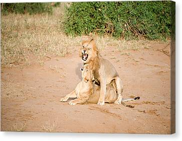 Lion Pair Panthera Leo Mating Canvas Print by Panoramic Images