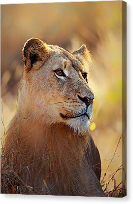 Lioness Portrait Lying In Grass Canvas Print by Johan Swanepoel