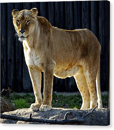 Lioness Canvas Print by Frozen in Time Fine Art Photography