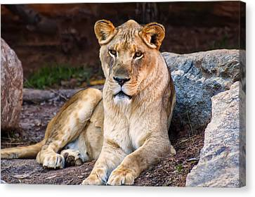 Lioness Stare Canvas Print by Chris Flees