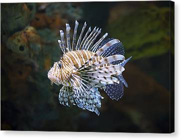 Lionfish - Gatlinburg Tn Ripleys Aquarium Canvas Print by Dave Allen