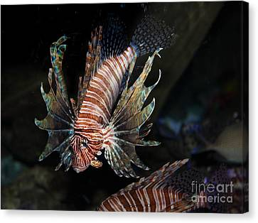 Lionfish 5d24143 Canvas Print by Wingsdomain Art and Photography