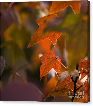 Liquidambar Autumn Canvas Print by Anne Gilbert