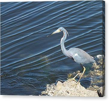 Little Blue Heron II Canvas Print by Anna Villarreal Garbis