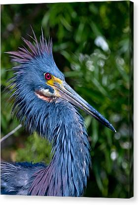 Little Blue Heron's Crest Canvas Print by Andres Leon