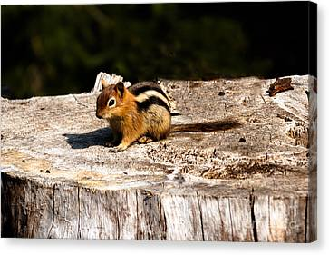 Little Chipmunk Canvas Print by Robert Bales