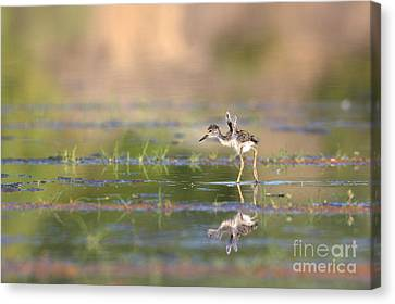 Little Flaps Canvas Print by Ruth Jolly