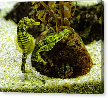 Little Green Seahorses Canvas Print by Linda Phelps