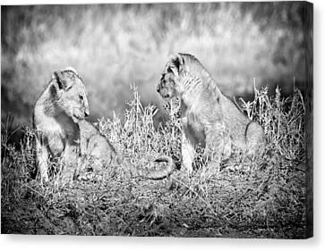 Little Lion Cub Brothers Canvas Print by Adam Romanowicz