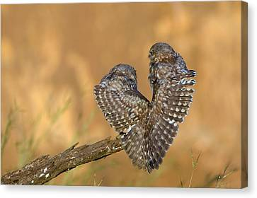 Little Owl Athene Noctua Couple Canvas Print by Photostock-israel