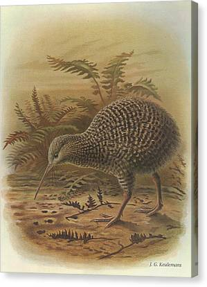 Little Spotted Kiwi Canvas Print by J G Keulemans