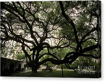 Live Oak At The Alamo, Texas Canvas Print by Ron Sanford