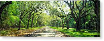 Live Oaks And Spanish Moss Wormsloe Canvas Print by Panoramic Images