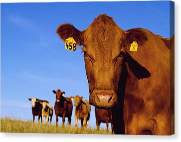 Livestock - Closeup Of A Red Angus Cow Canvas Print by Sam Wirzba