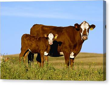 Livestock - Crossbred Cow And Calf Canvas Print by Sam Wirzba