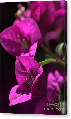 Living With Bougainvillea Canvas Print by Joy Watson