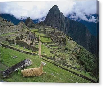 Llama At Machu Picchus Ancient Ruins Canvas Print by Chris Caldicott