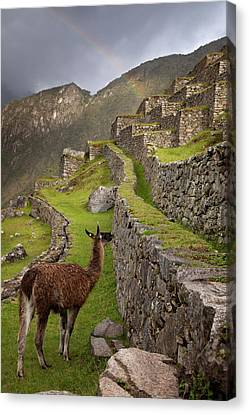 Llama Stands On Agricultural Terraces Canvas Print by Jaynes Gallery