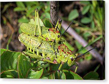 Locusts Mating Canvas Print by Philippe Psaila