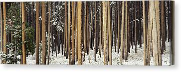 Lodgepole Pines And Snow Grand Teton Canvas Print by Panoramic Images