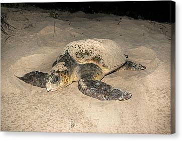 Loggerhead Turtle Covering Its Nest Canvas Print by Tony Camacho