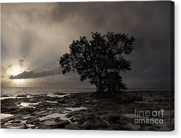 Lone Mangrove Canvas Print by Keith Kapple