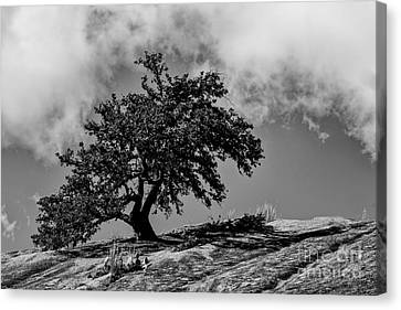 Lone Oak Atop Little Rock - Enchanted Rock State Natural Area Texas Hill Country Canvas Print by Silvio Ligutti