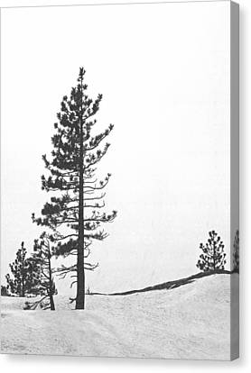Lone Pine In Snow Canvas Print by Frank Wilson