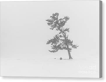 Lone Pine Tree In A Blizzard Canvas Print by Benjamin Williamson