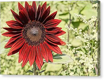 Lone Red Sunflower Canvas Print by Kerri Mortenson