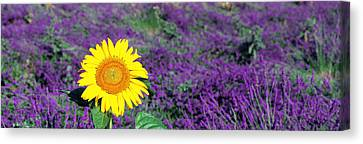 Lone Sunflower In Lavender Field France Canvas Print by Panoramic Images