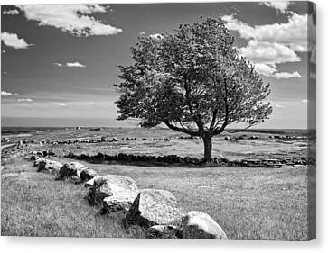 Lone Tree In Maine Blueberry Field Canvas Print by Keith Webber Jr