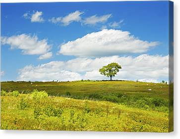 Lone Tree With Blue Sky In Blueberry Field Maine Photograph  Canvas Print by Keith Webber Jr