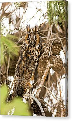 Long-eared Owl Asio Otus Canvas Print by Photostock-israel