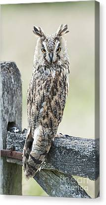 Long Eared Owl Canvas Print by Tim Gainey