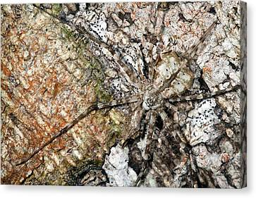 Long-spinnered Bark Spider Canvas Print by Alex Hyde