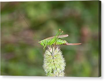 Long-winged Conehead Bush-cricket Canvas Print by Bob Gibbons