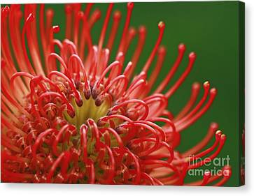 Look Inside Pincushion Flower Canvas Print by Inspired Nature Photography Fine Art Photography