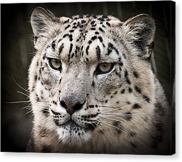 Look Into My Leopard Eyes Canvas Print by Chris Boulton