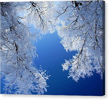 Look Up Canvas Print by Cindi Snow