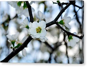 Looking Through The Blossoms Canvas Print by Kaye Menner