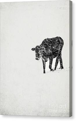 Lost Calf Struggling In A Snow Storm Canvas Print by Edward Fielding