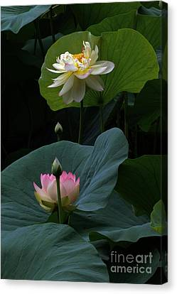 Lotus Beauties In White Pink Gold And Green Canvas Print by Byron Varvarigos