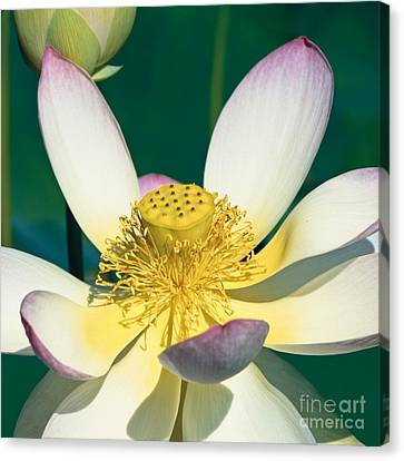 Lotus Blossom Canvas Print by Heiko Koehrer-Wagner