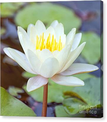 Lotus Flower 02 Canvas Print by Antony McAulay