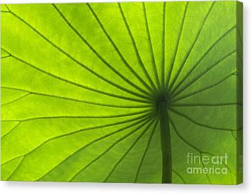 Lotus Leaf Canvas Print by Tim Gainey